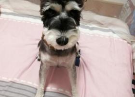 寻狗启示,三好街沈阳音乐学院家属区走失一只雪纳瑞 请求大家帮忙找一找,它是一只非常可爱的宠物狗狗,希望它早日回家,不要变成流浪狗。