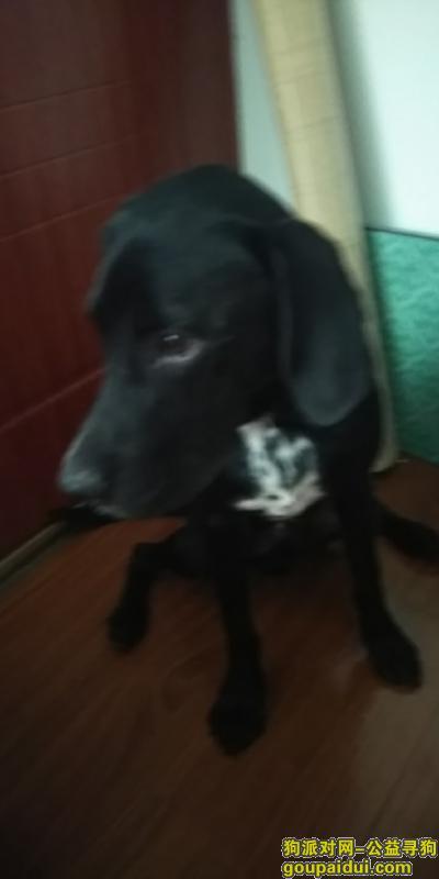 常州寻狗,急寻爱狗(一只黑色拉布拉多,胸前有白色斑点),谢谢。,它是一只非常可爱的宠物狗狗,希望它早日回家,不要变成流浪狗。