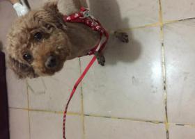 寻狗启示,寻找主人,一只可爱的小狗,它是一只非常可爱的宠物狗狗,希望它早日回家,不要变成流浪狗。