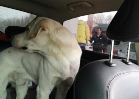 """寻狗启示,重金酬谢!寻拉布拉多犬,名字""""buddy"""",它是一只非常可爱的宠物狗狗,希望它早日回家,不要变成流浪狗。"""