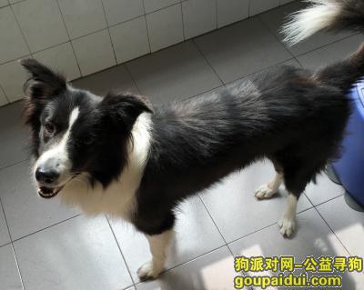 衡阳丢狗,寻衡阳黄茶岭走失的边境牧羊犬,它是一只非常可爱的宠物狗狗,希望它早日回家,不要变成流浪狗。
