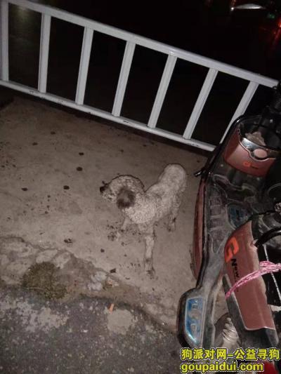 安阳找狗,在安阳易园捡到一只流浪狗灰色剃毛断尾泰迪,它是一只非常可爱的宠物狗狗,希望它早日回家,不要变成流浪狗。