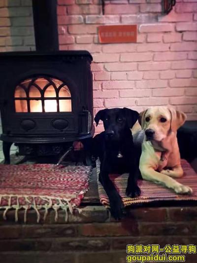 大理寻狗启示,酬金4000元寻两只一同走丢的成年拉布拉多(一黑一黄),它是一只非常可爱的宠物狗狗,希望它早日回家,不要变成流浪狗。