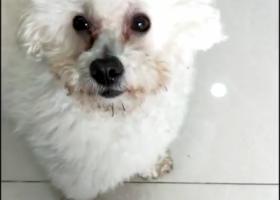 寻狗启示,找到了,它是一只非常可爱的宠物狗狗,希望它早日回家,不要变成流浪狗。