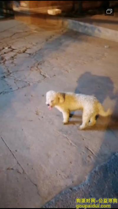 武汉找狗主人,捡到白色成年比熊 耳朵有染色,它是一只非常可爱的宠物狗狗,希望它早日回家,不要变成流浪狗。