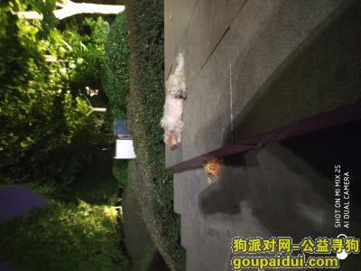 ,天鹅湖小白狗寻主人啊啊啊啊,它是一只非常可爱的宠物狗狗,希望它早日回家,不要变成流浪狗。