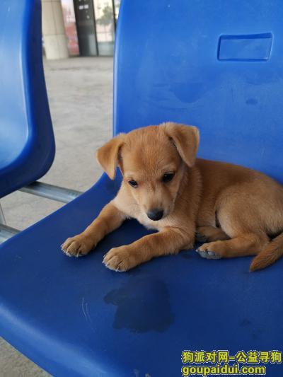,寻找一只3个月大的黄色小公狗,身长约40公分,象小土狗。,它是一只非常可爱的宠物狗狗,希望它早日回家,不要变成流浪狗。