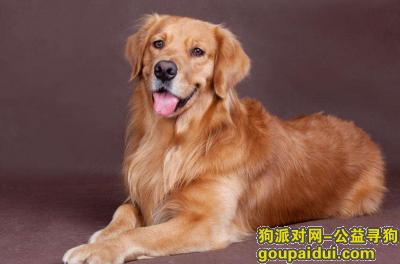 ,寻狗启示,本人丢失了一只金毛犬,希望好心人还回,它是一只非常可爱的宠物狗狗,希望它早日回家,不要变成流浪狗。