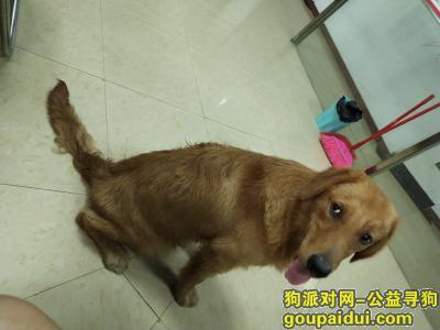 清远捡到狗,清新区太和镇南方电网附近捡到一只金毛,它是一只非常可爱的宠物狗狗,希望它早日回家,不要变成流浪狗。