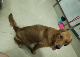 寻狗启示,清新区太和镇南方电网附近捡到一只金毛,它是一只非常可爱的宠物狗狗,希望它早日回家,不要变成流浪狗。