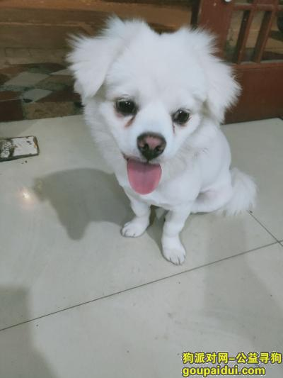 寻狗启示,寻狗(成都市大邑县),它是一只非常可爱的宠物狗狗,希望它早日回家,不要变成流浪狗。