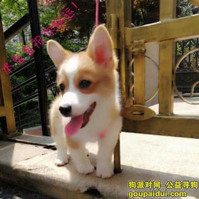 寻狗启示,小柯基走丢,请好心人帮帮忙,它是一只非常可爱的宠物狗狗,希望它早日回家,不要变成流浪狗。