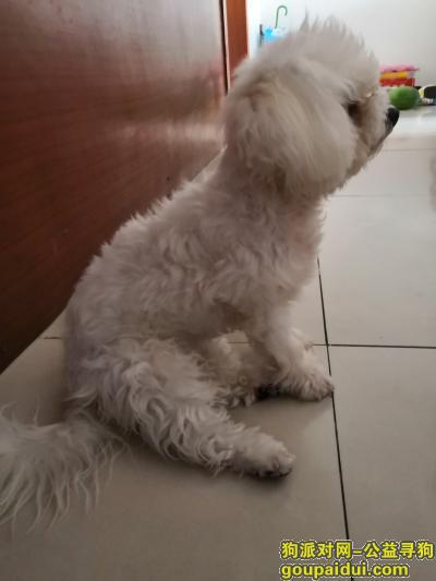 寻狗启示,寻找比白色熊犬一只~耳朵淡黄色,它是一只非常可爱的宠物狗狗,希望它早日回家,不要变成流浪狗。