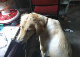 寻狗启示,重固大街捡到一条金毛尽快联系,它是一只非常可爱的宠物狗狗,希望它早日回家,不要变成流浪狗。