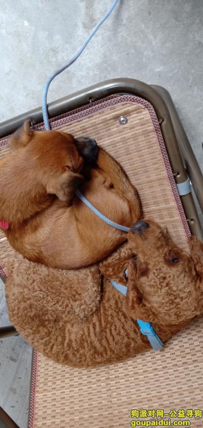 寻狗启示,五个月的中华田园犬走失,它是一只非常可爱的宠物狗狗,希望它早日回家,不要变成流浪狗。