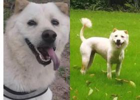 寻狗启示,惠州惠东区双月湾度假公寓酬谢五千元寻找爱犬,它是一只非常可爱的宠物狗狗,希望它早日回家,不要变成流浪狗。