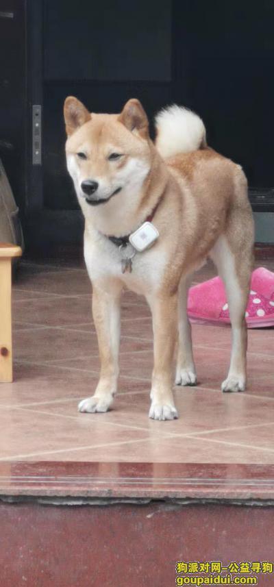 寻狗启示,重庆合川蓝滨一号小区附近寻找走失柴犬 酬谢3000元,它是一只非常可爱的宠物狗狗,希望它早日回家,不要变成流浪狗。