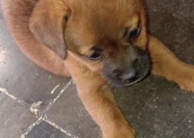 寻狗启示,五个月的中华田园犬走失。,它是一只非常可爱的宠物狗狗,希望它早日回家,不要变成流浪狗。