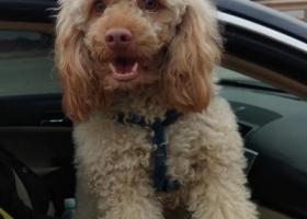 寻狗启示,寻狗启示,贵宾犬,名字:Timo(提莫),它是一只非常可爱的宠物狗狗,希望它早日回家,不要变成流浪狗。