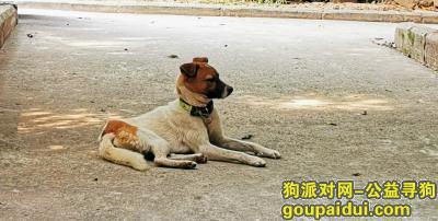 ,一只脖子上有狗绳黄白色的公狗狗,它是一只非常可爱的宠物狗狗,希望它早日回家,不要变成流浪狗。