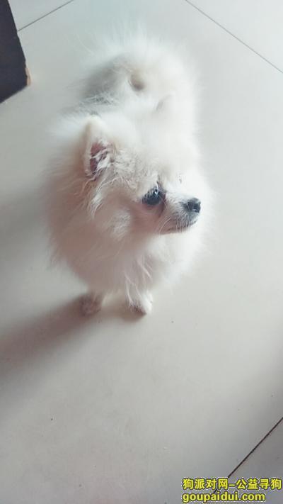 六安丢狗,白色博美公,四斤多个头小,泪痕有点严重,希望看到的跟我联系,它是一只非常可爱的宠物狗狗,希望它早日回家,不要变成流浪狗。