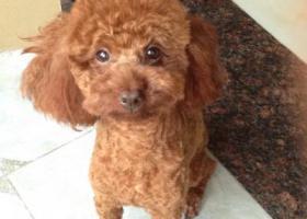 寻狗启示,寻犬泰迪/公/已绝育/,它是一只非常可爱的宠物狗狗,希望它早日回家,不要变成流浪狗。