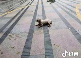 寻狗启示,寻泰迪狗主人(女宝宝,年龄不详,有孕),它是一只非常可爱的宠物狗狗,希望它早日回家,不要变成流浪狗。