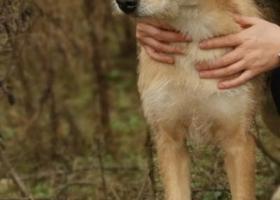 寻狗启示,集美区寻狗启示,大土狗,公,已绝育,它是一只非常可爱的宠物狗狗,希望它早日回家,不要变成流浪狗。