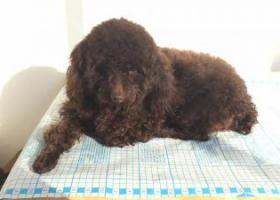 寻狗启示,寻找在国道318丢失的爱犬宝宝德芙,它是一只非常可爱的宠物狗狗,希望它早日回家,不要变成流浪狗。