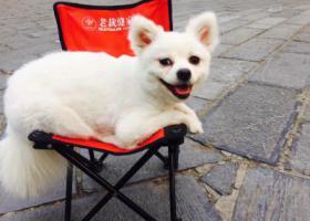 寻狗启示,博美白色六岁多于步行街走失,201962,它是一只非常可爱的宠物狗狗,希望它早日回家,不要变成流浪狗。