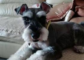 寻狗启示,山东济南章丘区,寻找走失雪纳瑞,它是一只非常可爱的宠物狗狗,希望它早日回家,不要变成流浪狗。