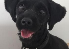 寻狗启示,中山石岐岐港市场附近捡到一只黑狗,它是一只非常可爱的宠物狗狗,希望它早日回家,不要变成流浪狗。