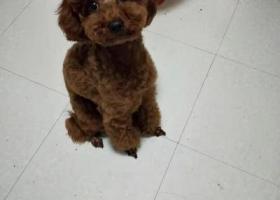 寻狗启示,寻狗启示~小泰迪棕色,它是一只非常可爱的宠物狗狗,希望它早日回家,不要变成流浪狗。