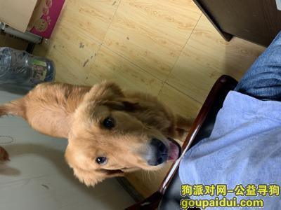 达州找狗,寻找走丢的心爱的金毛狗狗,它是一只非常可爱的宠物狗狗,希望它早日回家,不要变成流浪狗。