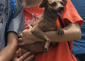 寻狗启示,找泰迪_亿亿(女宝宝),它是一只非常可爱的宠物狗狗,希望它早日回家,不要变成流浪狗。