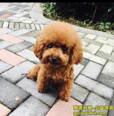 寻狗启示,寻狗启示 寻找棕色小型泰迪,它是一只非常可爱的宠物狗狗,希望它早日回家,不要变成流浪狗。