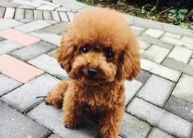 寻狗启示 寻找棕色小型泰迪