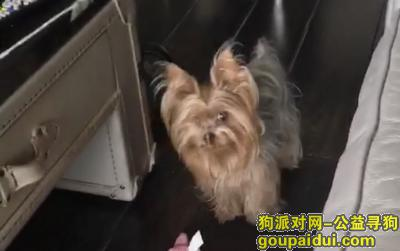 寻狗启示,浦东陆家嘴花园二期 约克夏母 8月24日下午17:52分错上电梯走失,它是一只非常可爱的宠物狗狗,希望它早日回家,不要变成流浪狗。