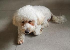 寻狗启示,狗狗被爱心人士收养!,它是一只非常可爱的宠物狗狗,希望它早日回家,不要变成流浪狗。