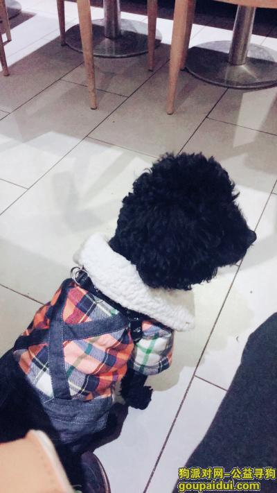 黄石找狗,20198月24号黄石摩尔城马路对面草坪附近丢失一只黑色泰迪公狗叫豆豆,它是一只非常可爱的宠物狗狗,希望它早日回家,不要变成流浪狗。