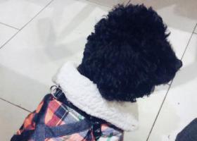 寻狗启示,20198月24号黄石摩尔城马路对面草坪附近丢失一只黑色泰迪公狗叫豆豆,它是一只非常可爱的宠物狗狗,希望它早日回家,不要变成流浪狗。