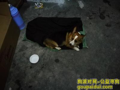【合肥捡到狗】,2019年8月27日晚,捡到柯基一条,它是一只非常可爱的宠物狗狗,希望它早日回家,不要变成流浪狗。