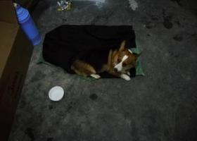 寻狗启示,2019年8月27日晚,捡到柯基一条,它是一只非常可爱的宠物狗狗,希望它早日回家,不要变成流浪狗。