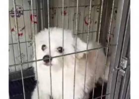 寻狗启示,2019.8.26晚丢失白色博美,它是一只非常可爱的宠物狗狗,希望它早日回家,不要变成流浪狗。