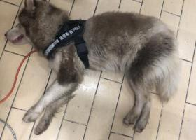 寻狗启示,褐色阿拉斯加 深圳罗湖区泥岗东路捡到,它是一只非常可爱的宠物狗狗,希望它早日回家,不要变成流浪狗。