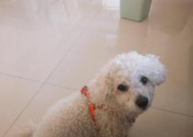 寻狗启示,重金找白色比熊宠物狗。,它是一只非常可爱的宠物狗狗,希望它早日回家,不要变成流浪狗。
