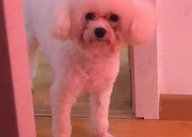 白色泰迪狗,捡到了与我联系,必有重谢