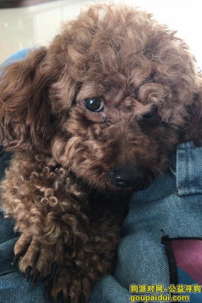 阳江找狗,六岁大的女泰迪阳春高河村走失,它是一只非常可爱的宠物狗狗,希望它早日回家,不要变成流浪狗。