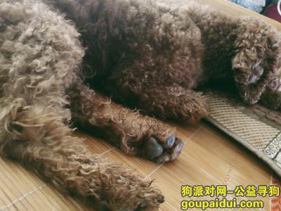 吉安寻狗网,吉安市泰和县棕色泰迪走失,它是一只非常可爱的宠物狗狗,希望它早日回家,不要变成流浪狗。