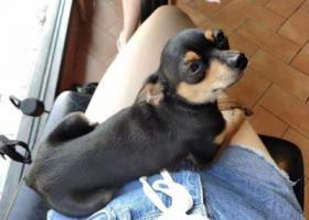 寻狗启示,上海松江区小鹿犬回家热线15821271190,它是一只非常可爱的宠物狗狗,希望它早日回家,不要变成流浪狗。